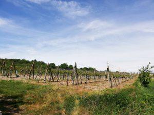 Svätý Jur, vineyard