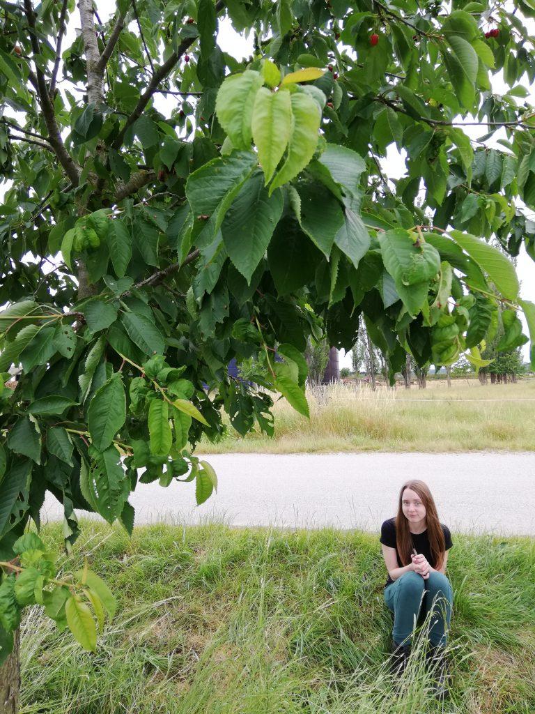 Břilice, cherry tree