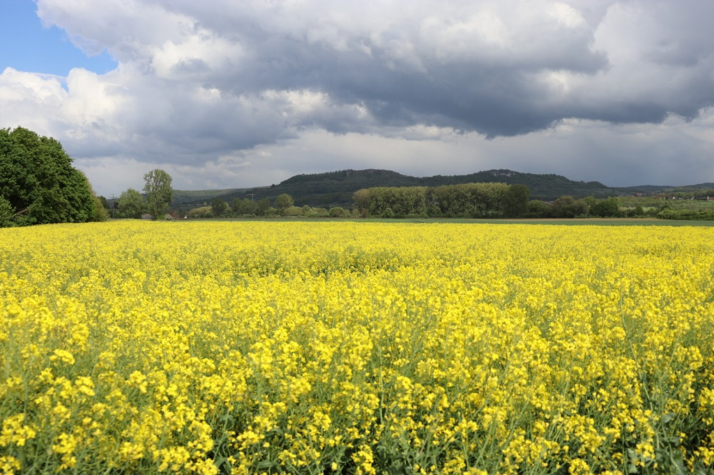 Rapeseed field in Forchheim (view to the east)