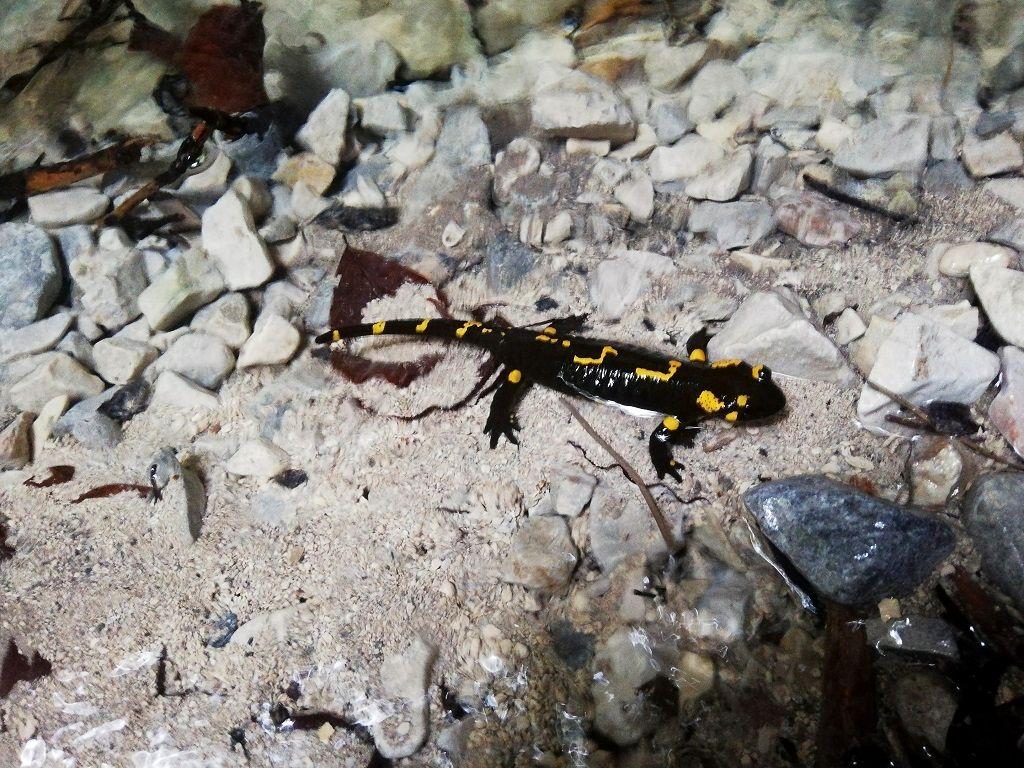 Fire salamander in the Suchá Belá ravine