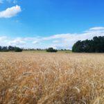 Grainfield near Mělník