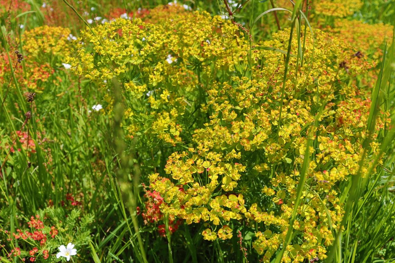 Flowers, near Schafberg